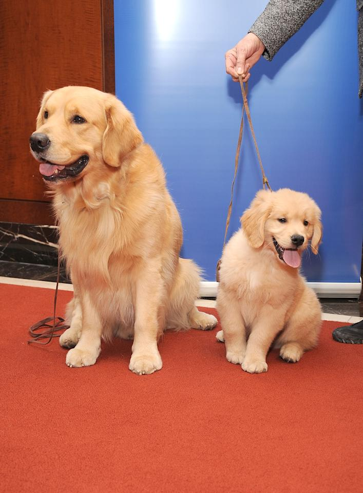 NEW YORK, NY - JANUARY 30:  Two Golden Retrievers, Major (L) and Gibbs pose for pictures as the American Kennel Club Announces Most Popular Dogs in the U.S. on January 30, 2013 in New York City.  (Photo by Gary Gershoff/Getty Images for the American Kennel Club)