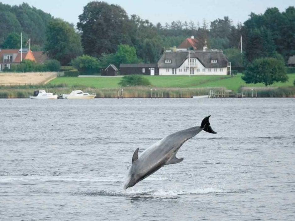 Feel the Force: Yoda the dolphin leaps into the air (Karin Kristensen /Marine Connection)