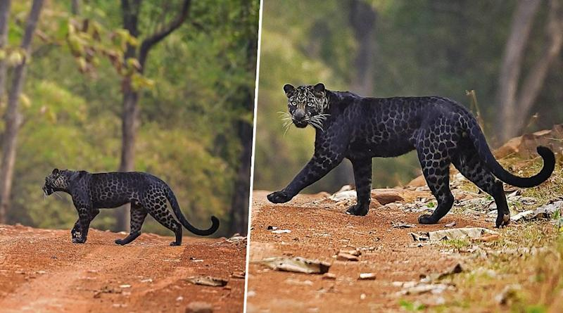 Pics of Rare Black Leopard Crossing Road in Maharashtra's Tadoba National Park Captured by Photographer Anurag Gawande Go Viral! Here's Why Melanistic Leopards Are so Mysterious & Rare (View Pics)