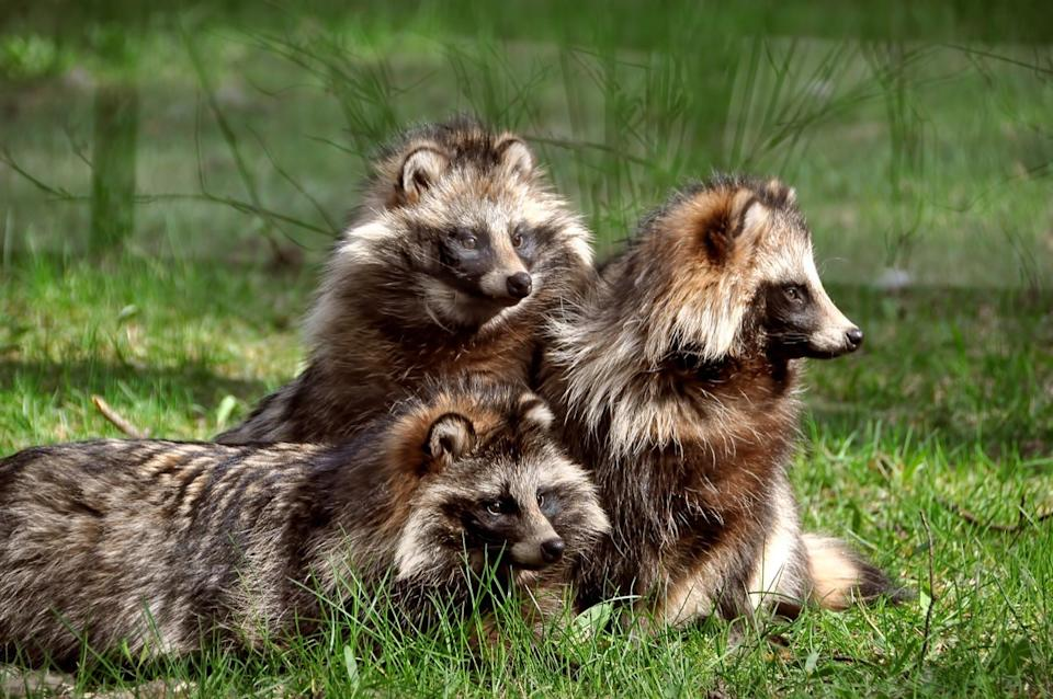 three raccoon dogs laying in a grass field