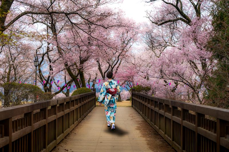 Asian women wearing traditional japanese kimono walking in flower garden with Cherry blossom in background in spring season in Kyoto, Japan. Woman walking to sightseeing in Japan.