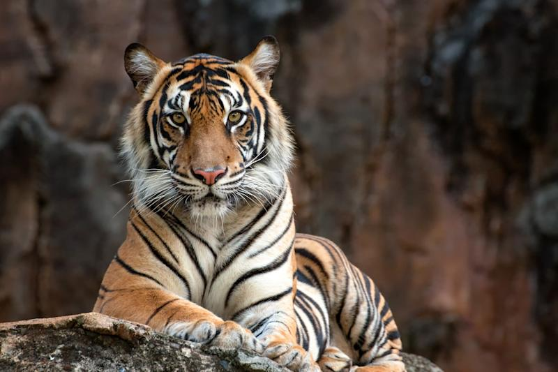 photos of a sumatrean tiger
