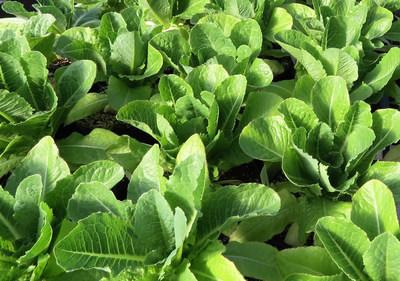 Intrexon GreenVenus Lettuce