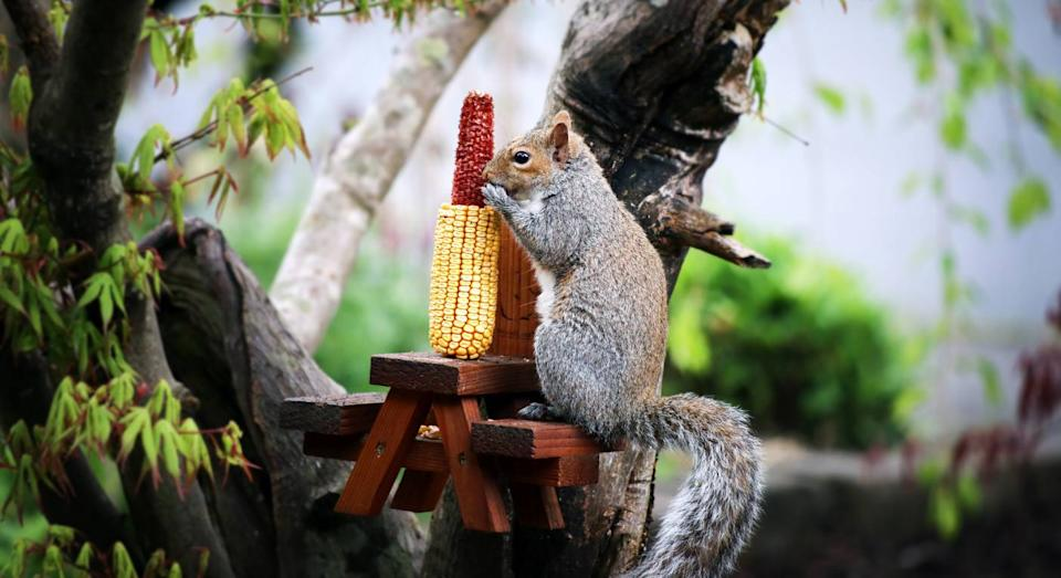 People are making picnic tables for squirrels in their gardens. (Getty Images)