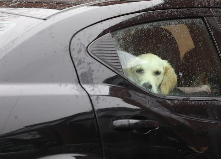 Iris, a golden retriever, looks at her owner on Saturday, April 4, during a visit to Pittsford Animal Hospital in Rochester, New York.