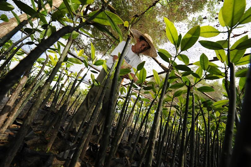Government worker Dominado Acedo checks a nursery of mangrove saplings to be used in the Tagum city mangrove reforestation program in Mindanao, Philippines on April 21, 2008