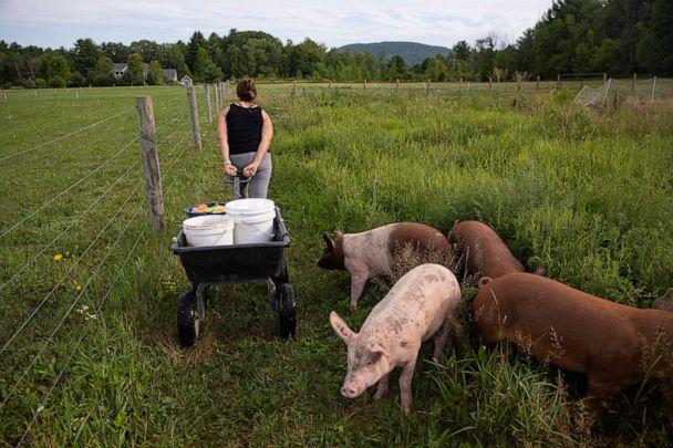 PHOTO: A farmer wheels a cart with organic pellet food and food scraps to feed her pigs in Charlotte, Vt., Aug. 13, 2020. (Robert Nickelsberg/Getty Images)
