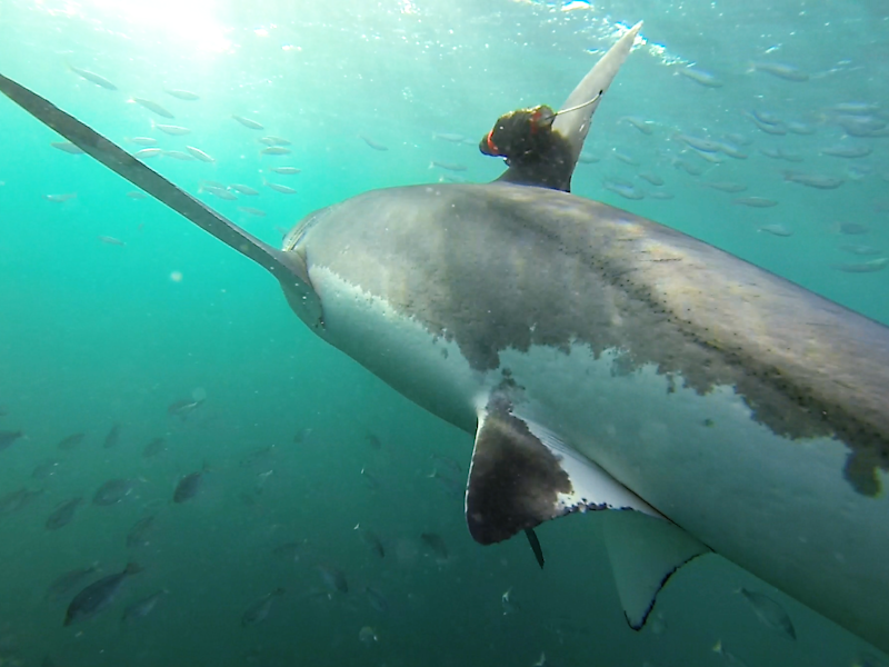 Cameras mounted on great white sharks capture giant predators hunting in kelp for first time