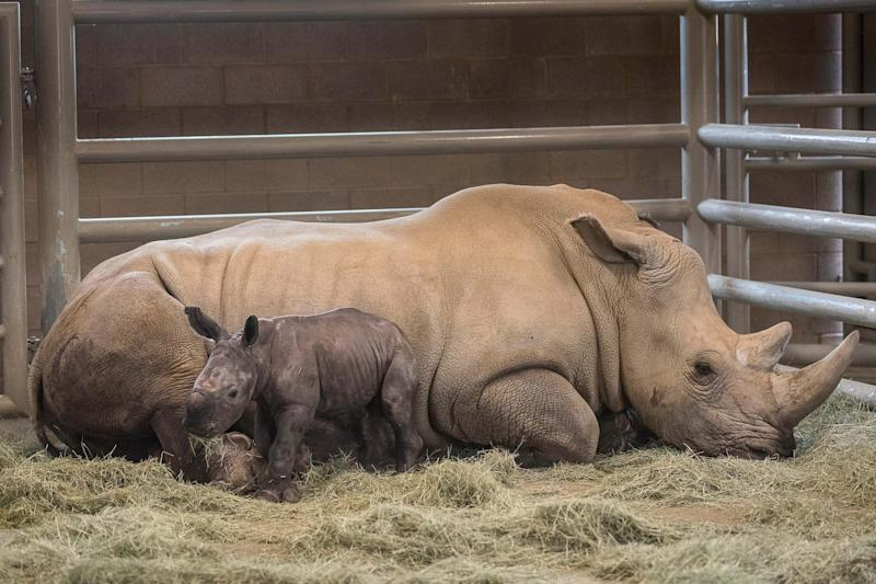 Rhinos are extremely scarce with only 30,000 left in the world