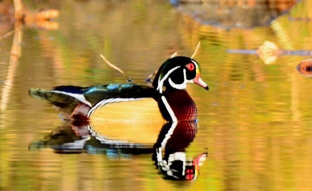This wood duck, a species of perching duck found in North America, floats in the Inglewood Bird Sanctuary.