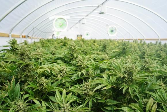 Marijuana plants in a greenhouse with fans and building framework visible.