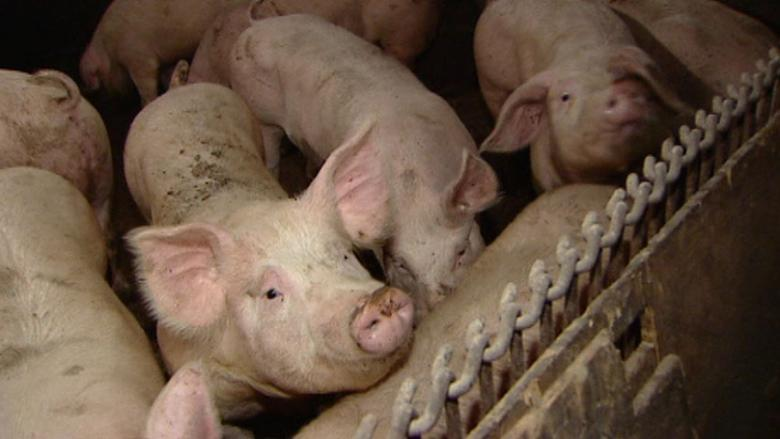 Thousands of pigs die as southern Manitoba hog barn goes up in flames