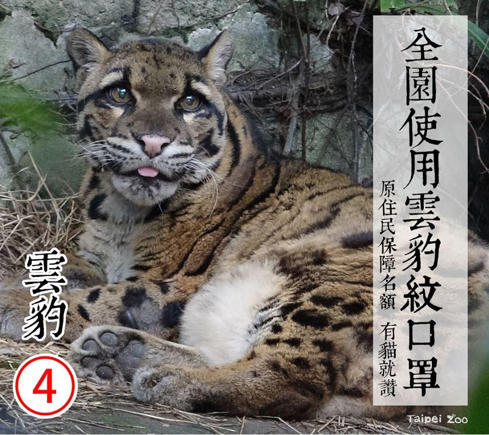 4號候選人雲豹 | The No. 4 candidate-cloud leopard (FB/Taipei Zoo)