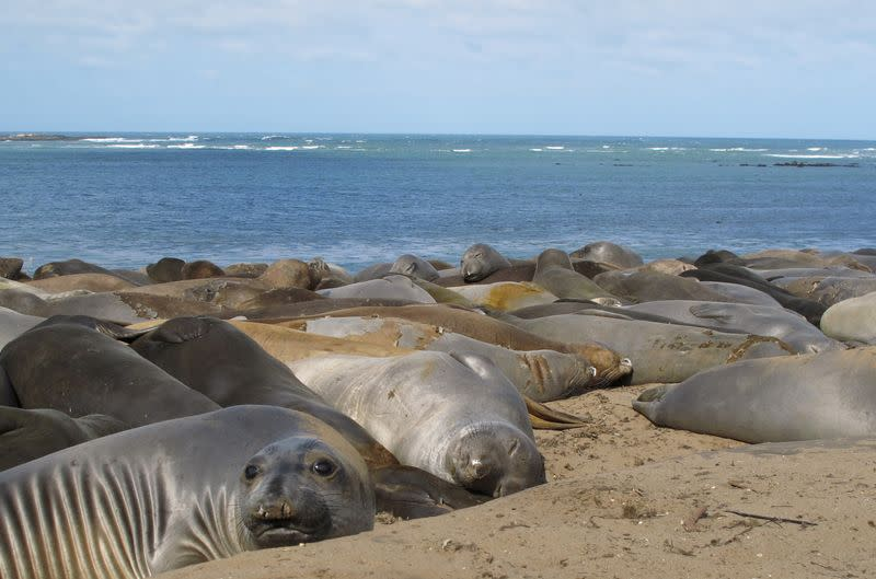 Female northern elephant seals rest at Ano Nuevo State Park