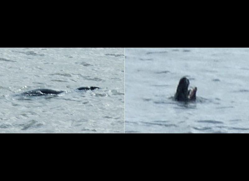 """This mysterious shape was captured by photographer Mark Harrison while riding on a ferry off the Seacombe district of Wirral in the United Kingdom on the morning of May 25. Experts claim that it could be a harbor porpoise or a basking shark, but Harrison says, """"Me? Clearly, I believe it's Nessie on her hols!"""""""