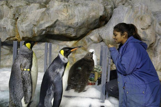 Baby penguin 'Maru' takes first public waddle in Singapore