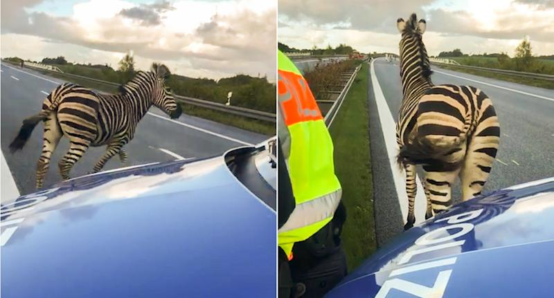 The zebra was shot dead after causing a crash (Picture: AFP/Getty)