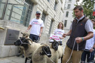 Demonstrators walk a flock of sheep outside British Government's Department of International Trade as part of a protest against Brexit, in central London, Thursday, Aug. 15, 2019. Protestors are walking sheep past government buildings as part of 'Farmers for a People's Vote' to highlight the risk Brexit presents to livestock. (AP Photo/Vudi Xhymshiti)