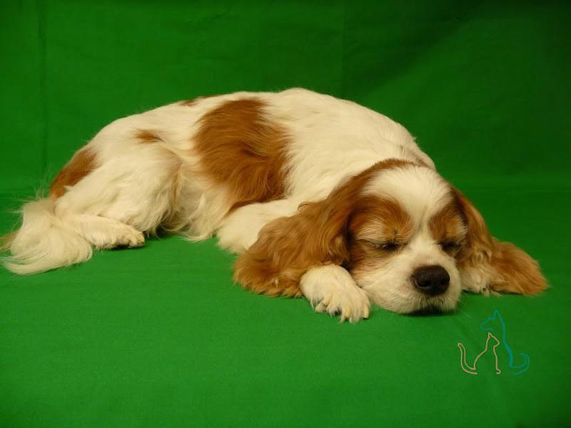 A freeze-dried Cavalier King Charles Spaniel by Second Life Freeze Dry. (Photo: Courtesy Second Life Freeze Dry)