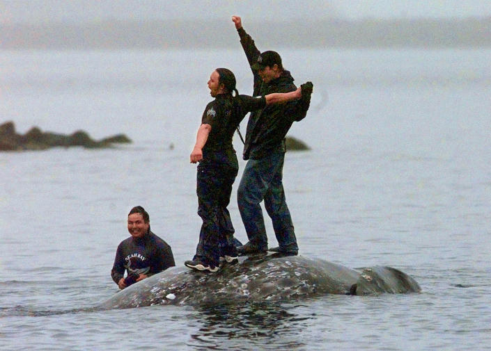 CORRECTS DATE OF RULING - FILE - In this May 17, 1999, file photo, two Makah Indian whalers stand atop the carcass of a dead gray whale moments after helping tow it close to shore in the harbor at Neah Bay, Wash. An administrative law judge on Thursday, Sept. 23, 2021, recommended that the Makah be allowed to resume whaling along the coast of Washington state, as their ancestors did. (AP Photo/Elaine Thompson, File)