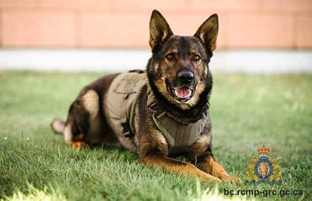 Police Service Dog Gator died while responding to a call in Campbell River, B.C. on July, 8  (B.C. RCMP  - image credit)
