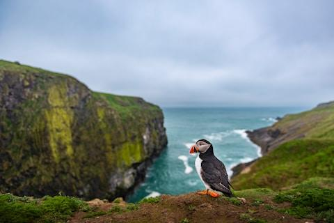 Head to the isle of Skomer to see puffins - Credit: getty