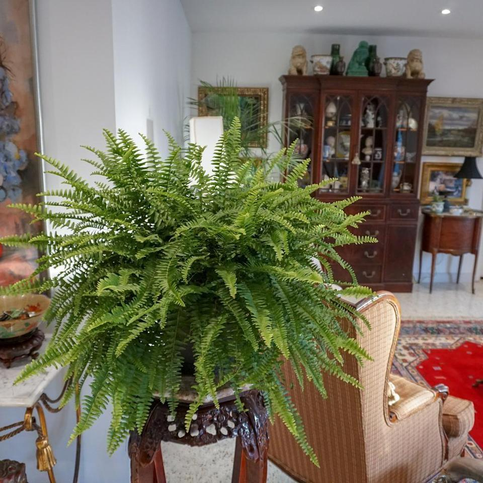 <p>Pot this <span>United Nursery Boston Fern Plant</span> ($22) on your porch or anywhere indoors. It requires indirect sunlight and will make a classic addition to your home.</p>