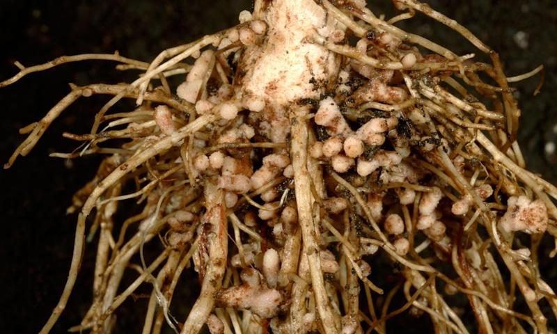 Rhizobia root nodules.