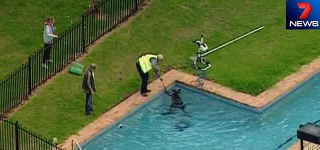A stranded kangaroo has been rescued from a backyard pool at Healesville. Photo: 7News