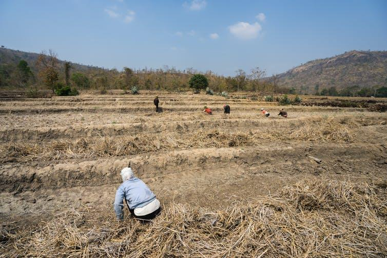 Farmers sift through a parched field.