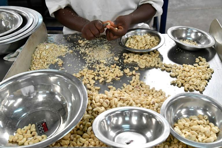 The kernel of the cashew is widely used in cooking and in cosmetics, while the resin from its shell is suitable for a surprising range of industrial uses