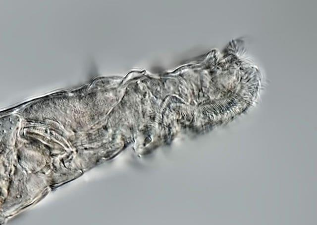 Bdelloid rotifers, tiny multicellular animals recovered from permafrost found to be 24,000 years old