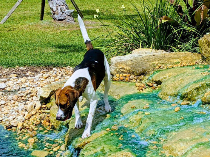 In this image provided by Renee Rosamilia, Joker, a harrier, peers into a pond in Palm City, Fla. Joker is set to compete at the upcoming Westminster Kennel Club dog show, which has undergone many changes this year because of the coronavirus pandemic. (Courtesy Renee Rosamilia via AP)