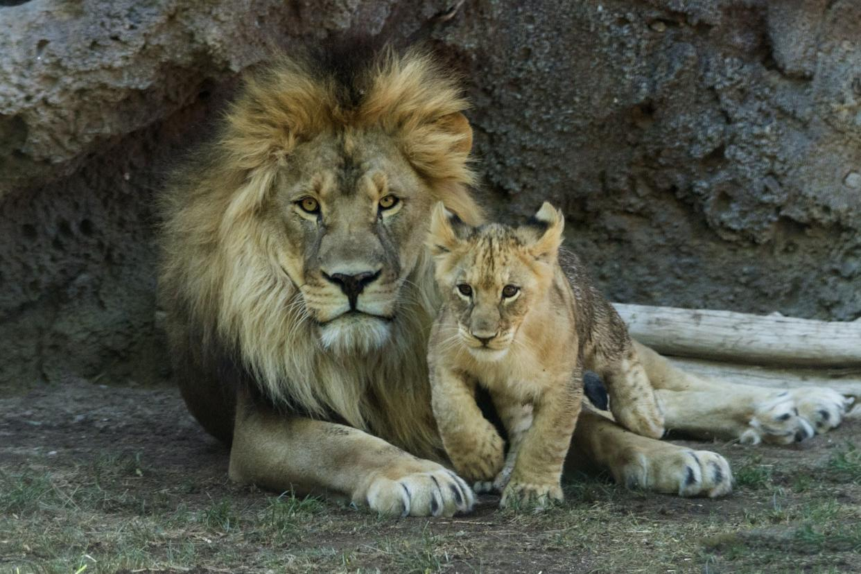 Male lion with young cub