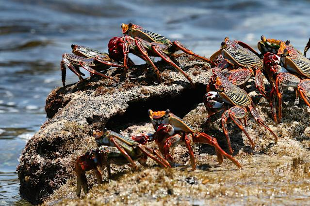Sally Lightfoot crabs queue up to leap from rock to rock at Fernando de Noronha, Brazil. These crabs appear to be afraid of water because that's where predatory eels and octopuses lurk. (Photo: Miles Barton/BBC)