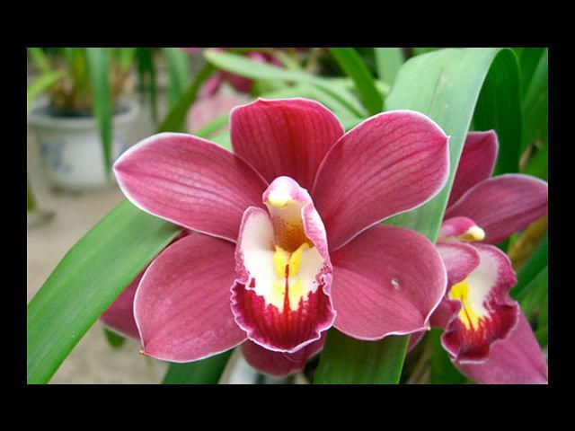 <b>Orchid means Rare Beauty </b><br> Because that's what your girl is! Gift her these flowers and exemplify your emotions.