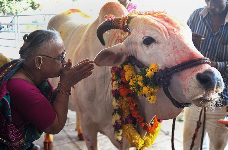 An Indian Hindu devotee offers prayers to a sacred cow on the eve of Gopastami in Hyderabad October 31, 2014