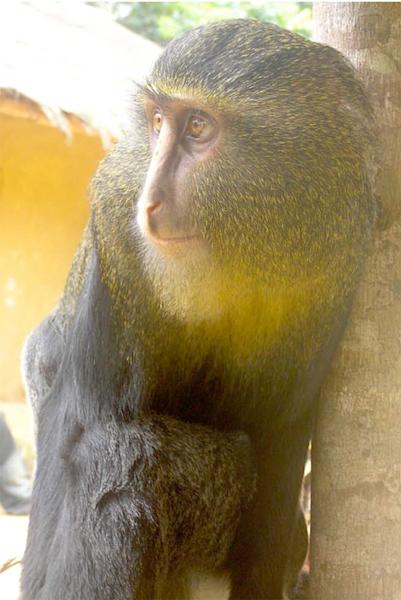 An adult male lesula, a newly-identified monkey species native to a limited area of central Democratic Republic of Congo.