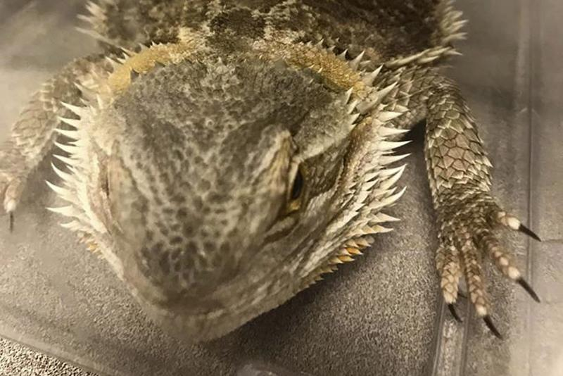 This Dec. 21, 2019, photo released by the Stoughton Police Department shows one of six lizards the department rescued that had been abandoned on a street in Stoughton, Mass. Police said the lizards have been professionally cared for and are searching for the owner, in hopes someone would claim the reptiles. (Stoughton Police Department via AP)