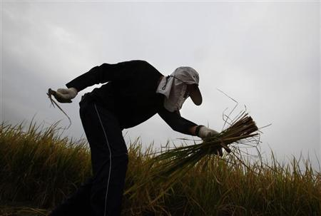 A volunteer works in one of the last paddy fields at Hong Kong's New Territories
