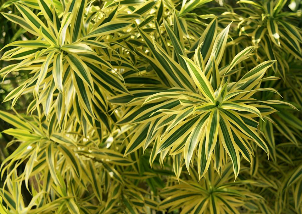 Dracaena reflexa  commonly known as Song of India is a tropical tree native to Madagascar and Mauritius as well as the other islands of the Indian ocean. It's grown as an ornamental plant. Several cultivars have been produced and this particular variegated with cream and yellow-green margins are very popular houseplant. They are propagated by stem cuttings.