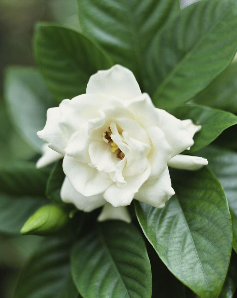 """<p>Known for its rich scent, this waxy flower with glossy thick leaves is often used in perfumes. An evergreen shrub that can grow 8 feet tall, gardenias grow best in humid areas.</p><p><strong>Bloom seasons</strong>: They can bloom during different seasons depending on the variety. Many appear in the spring and summer </p><p><a class=""""link rapid-noclick-resp"""" href=""""https://www.amazon.com/AMERICAN-EXCHANGE-Gardenia-Veitchii-Plant/dp/B08J8H17MK/?tag=syn-yahoo-20&ascsubtag=%5Bartid%7C10050.g.36596951%5Bsrc%7Cyahoo-us"""" rel=""""nofollow noopener"""" target=""""_blank"""" data-ylk=""""slk:SHOP GARDENIAS"""">SHOP GARDENIAS</a> </p>"""