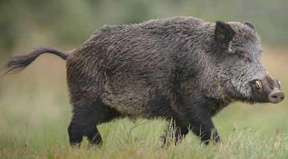 Wild pig/Ontario Ministry of Natural Resources and Forestry
