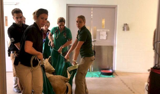 PHOTO: A dedicated team of vets and zoo staff carry a female lion in to the medical unit to have her contraception device removed at the Denver Zoo. (Becky Perlow/ABC News)