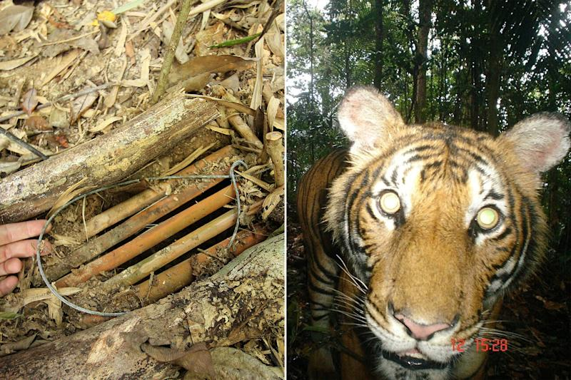 A snare (left) found in a Malaysian forest and a Malayan tiger caught on camera in 2010. (PHOTOS: WWF Malaysia)