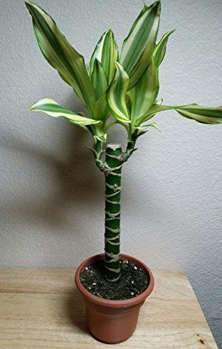 "<p><strong>Hirts House Plant</strong></p><p>amazon.com</p><p><strong>$19.99</strong></p><p><a href=""https://www.amazon.com/dp/B00N03419K?tag=syn-yahoo-20&ascsubtag=%5Bartid%7C10057.g.36099328%5Bsrc%7Cyahoo-us"" rel=""nofollow noopener"" target=""_blank"" data-ylk=""slk:BUY NOW"" class=""link rapid-noclick-resp"">BUY NOW</a></p><p>One of the oldest houseplants in terms of domestic popularity, the corn plant has been beloved by Europeans since the mid-1800s and in the US as early as the 20th-century. For those small apartments or tight spaces, choose the Corn Plant for its tall and narrow structure that reaches around 4 to 6 feet tall in containers. This indoor plant grows well with full shade of sun and doesn't need a lot of water which will cause yellowing of the leaves.</p>"