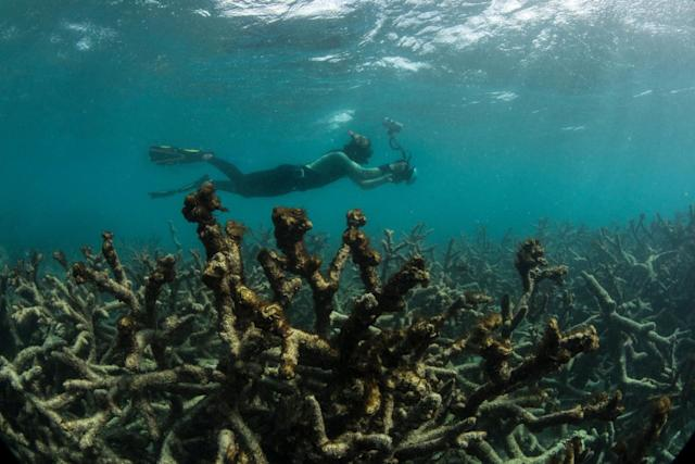 A snorkeler swims over a dead coral reef in May 2016 after a bleaching event.