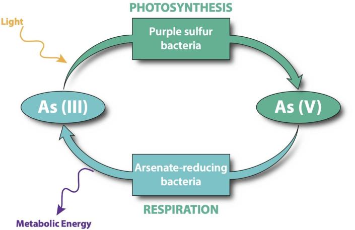 A diagram showing how arsenic can function in place of oxygen in photosynthesis and respiration.