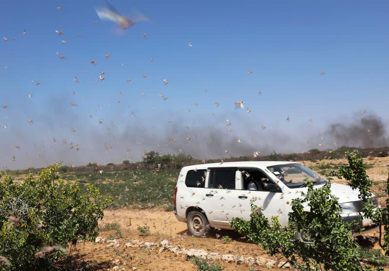 A motorist drives past desert locusts flying near a grazing land on the outskirt of Dusamareb in Galmudug region