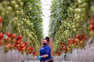 AppHarvest announces first harvest of Tomatoes on the Vine from high-tech Morehead farm is shipping to grocery stores.